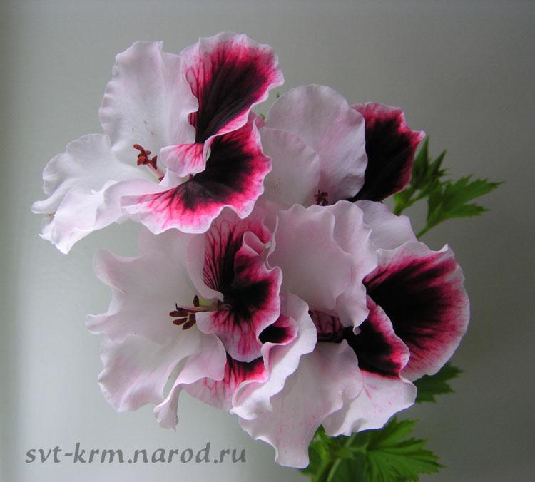 http://svt-krm.narod.ru/Foto_regal_big/n19-P6240027big2.jpg